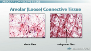 areolar connective tissue adipose tissue and loose connective tissue functions and structures
