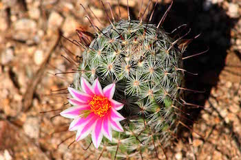 arizona cactus flower