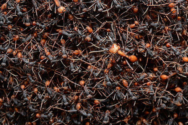 how to get rid of ant colony in wall