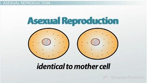 What does reproduce asexually means of production
