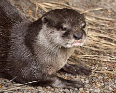 Asian Small-Clawed Otter: Habitat, Breeding & Adaptations