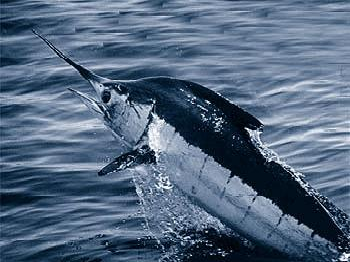 An Atlantic Blue Marlin, the species of fish Santiago catches