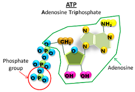 ATP contains adenosine and 3 phosphate groups
