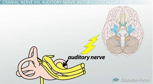 The ear hair cells organ of corti the auditory nerve video auditory nerve brain diagram ccuart Choice Image