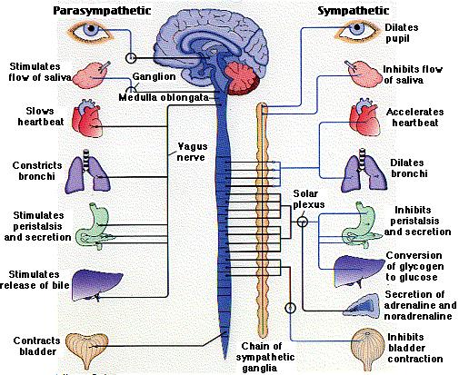 Autonomic Nervous System: Function, Definition & Divisions - Video ...