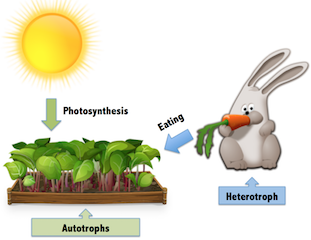 Autotrophs vs. Heterotrophs Lesson for Kids: Explanation & Facts ...
