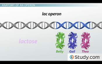Image of lac operon genes