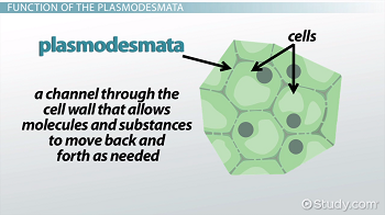 Plasmodesmata definition function video lesson transcript plant cell diagram ccuart