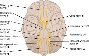 mentalis muscle innervation origin insertion study com