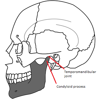 Lateral Pterygoid Muscle Function Origin Insertion