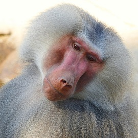 fun facts about baboons