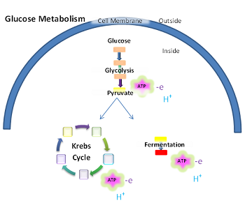 Process of cellular respiration in bacteria video lesson glucose metabolism ccuart Gallery