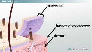 Basement Membrane Separates Dermis and Epidermis