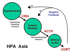 HPA axis and negative feedback