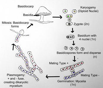 Basidiomycetes asexual reproduction in humans