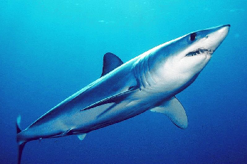 A Mako shark, one species that attacks Santiagos skiff