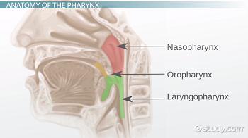 Pharynx: Anatomy & Definition - Video & Lesson Transcript | Study.com