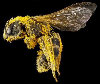 A Bee covered with pollen