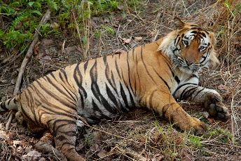 Bengal Tiger Facts Lesson For Kids Study Com