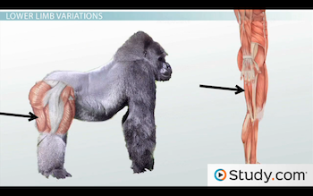 biceps femoris in humans and gorillas