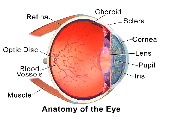 Parts of the eye and their functions video lesson transcript eye anatomy ccuart Choice Image
