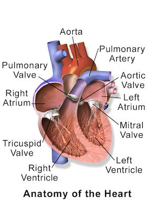 Mitral Valve Prolapse Definition Symptoms Treatment Study