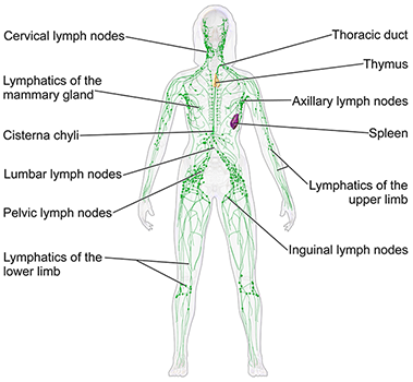 lymph system, lymph notes, lymphedema