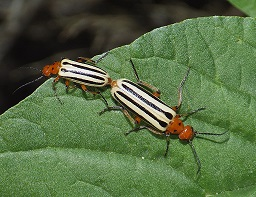 Blister Beetles: Life Cycle & Identification | Study com