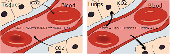 The blood buffering system in the tissues and lungs
