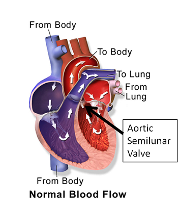 Aortic Semilunar Valve: Definition & Function - Video & Lesson ...