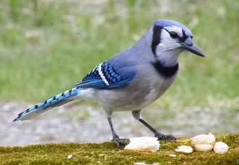 Blue Jay Facts Lesson For Kids Studycom
