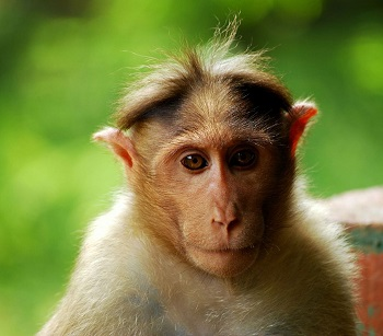 Bonnet Macaque Habitat Diet Amp Facts Study Com