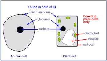 The difference between plant and animal cells video lesson structures common to animal and plant cells ccuart Images