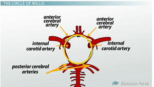 Brain blood supply anatomy diagrams video lesson transcript circle of willis ccuart Gallery
