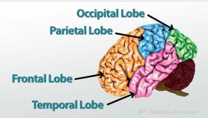Parts of the brain video lesson transcript study brain lobes ccuart Gallery