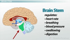 Brain structures and functions part i video lesson transcript brain stem ccuart Gallery