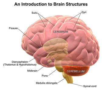 Brain anatomy lesson for kids study the left and right sides of the cerebrum are joined in the middle ccuart Gallery