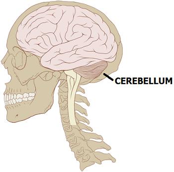 cerebellum lesson for kids | study, Cephalic Vein