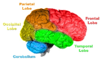 Diagram of the divisions of the cranial cavity