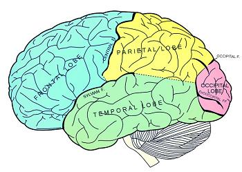 Brain Anatomy: Lesson for Kids   Study.com