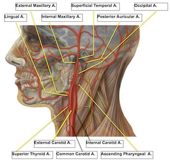 External Carotid Artery: Anatomy & Branches | Study.com