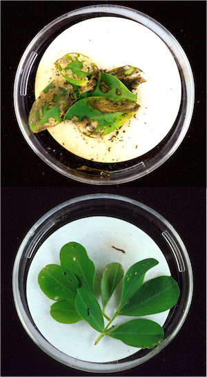 an analysis of the methods for creating rice plants that express insect resistance 4 genetically modified food crops 1) scientists copy a carrot gene that converts a pigment to beta-carotene plants live in a hostile world animals chew them, insects chomp them, pushy plants surround them, and disease withers them.