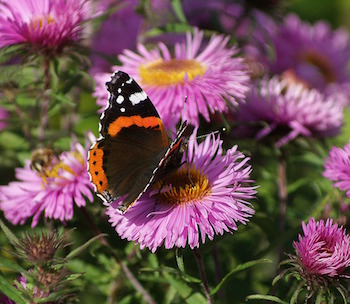 aster butterfly