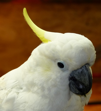 Cockatoo Facts: Lesson for Kids | Study.com
