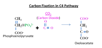 Carbon fixation in C4 pathway.