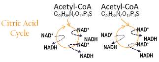 citric acid cycle produces NADH