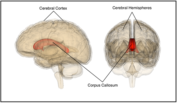What is Corpus Callosum? - Definition, Function & Location - Video ...