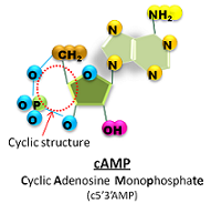 cyclic AMP structure