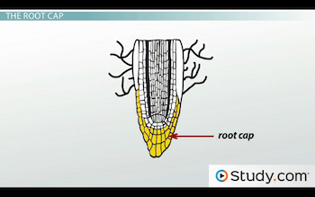 Root system growth the root cap primary roots lateral roots diagram of root cap ccuart Choice Image