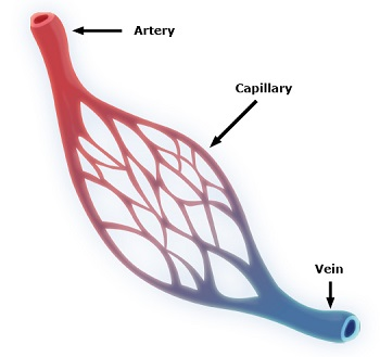 The Function of the Circulatory System Lesson for Kids | Study.com